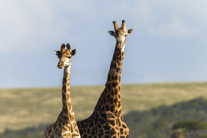 Giraffes Two Portrait royalty free stock photos