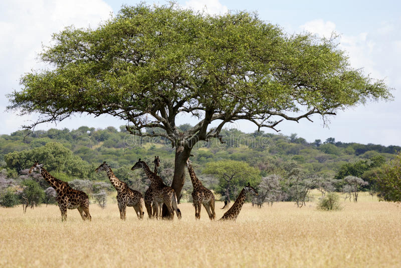 Giraffes under tree. Within African landscape several Giraffes are hiding from the sun under a typical African tree stock photo