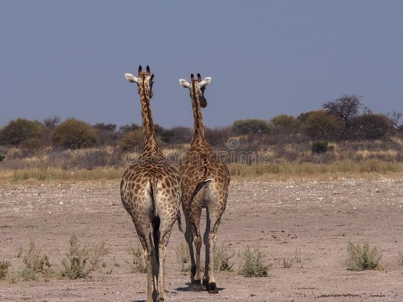 2 Giraffes walking away in Central Kalahari Game Reserve royalty free stock image