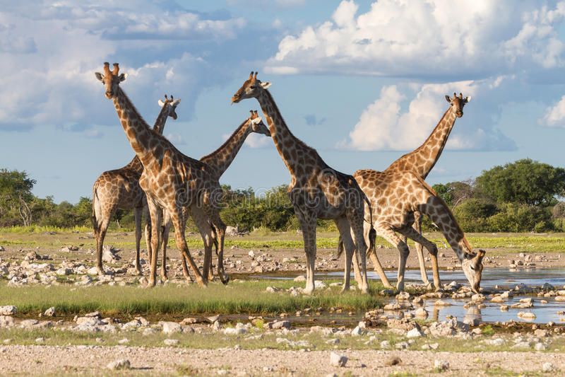Giraffes at a water hole, Etosha National Park royalty free stock photo