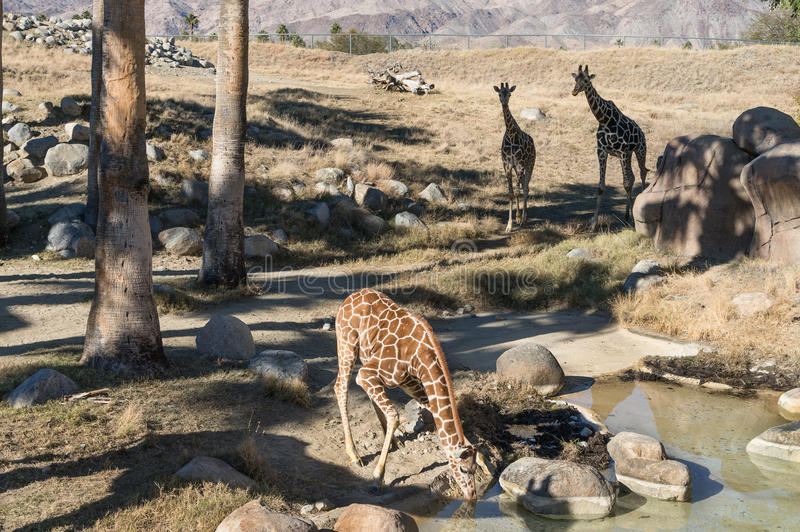 Download Giraffes At The Watering Hole Stock Image - Image: 28813013