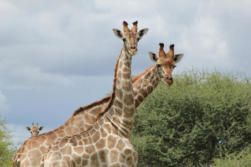 Download Giraffes - Who are you ? stock photo. Image of color - 25902702