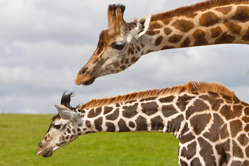 Download Giraffes in wildlife park stock photo. Image of portrait - 22464442