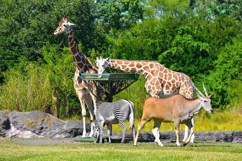 Giraffes , Zebra and Antelope walking in green meadow on forest background at Bush Gardens Tampa. Tampa, Florida. October 25, 2018 Giraffes , Zebra and Antelope stock photo