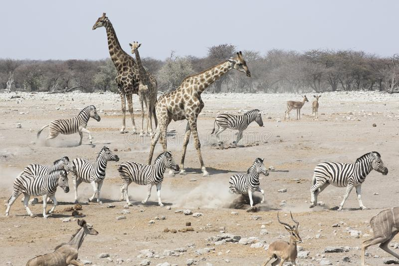 Giraffes, Zebra, and Springbok gather at a watering hole in Etosha National Park to drink in Namibia, Africa stock image