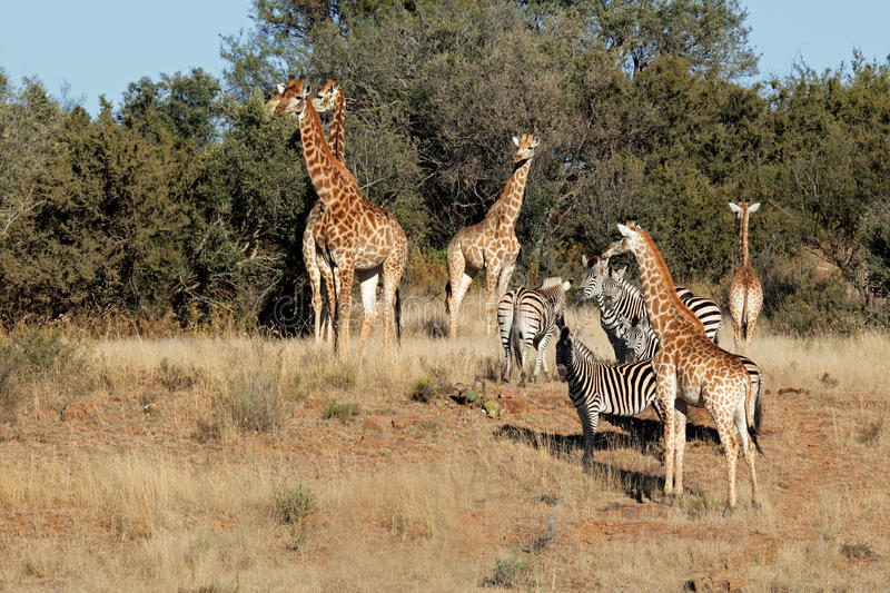 Download Giraffes and zebras stock photo. Image of equus, group - 20244180
