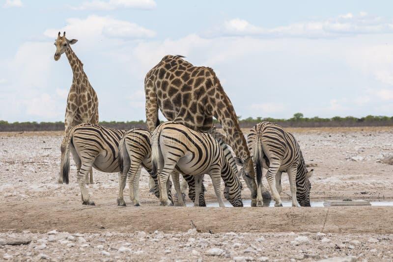 Giraffes and Zebras drinking at waterhole, Etosha Park stock photography