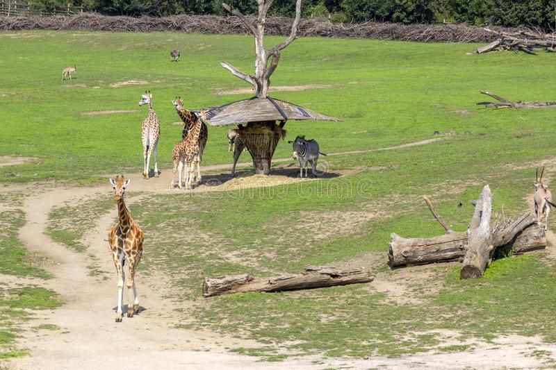 Giraffes and zebras walk in green meadow and eat grass, animals in wild. Giraffes and zebras walk in green meadow and eat grass, animals in wild stock photography