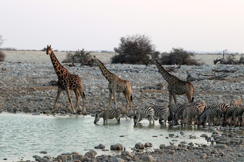 Giraffes and zebras at the waterhole - Namibia Africa stock photography