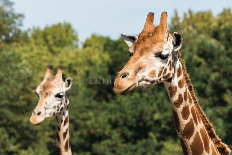 Giraffes in the zoo. Giraffe is the tallest animal in the world. Mammals stock images