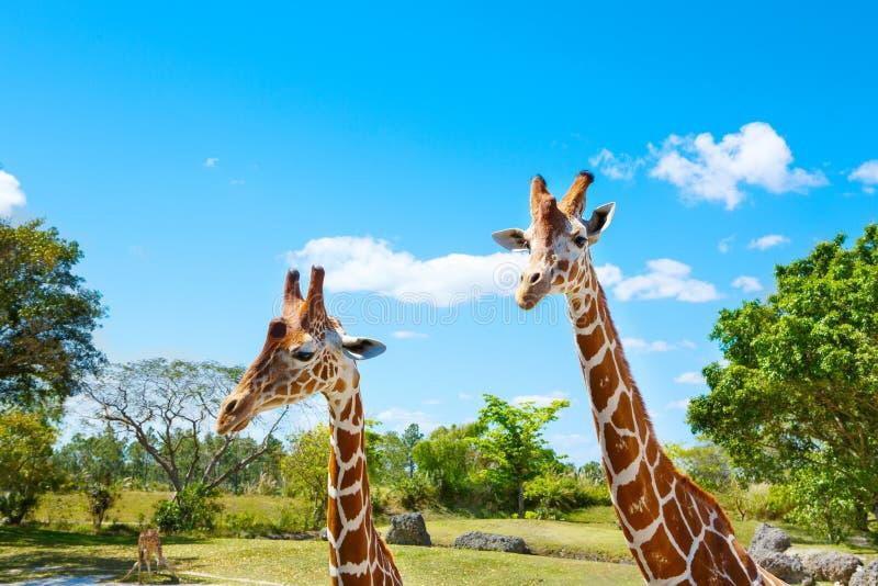 Giraffes in the zoo safari park. Beautiful wildlife animals. On sunny warm day stock photography