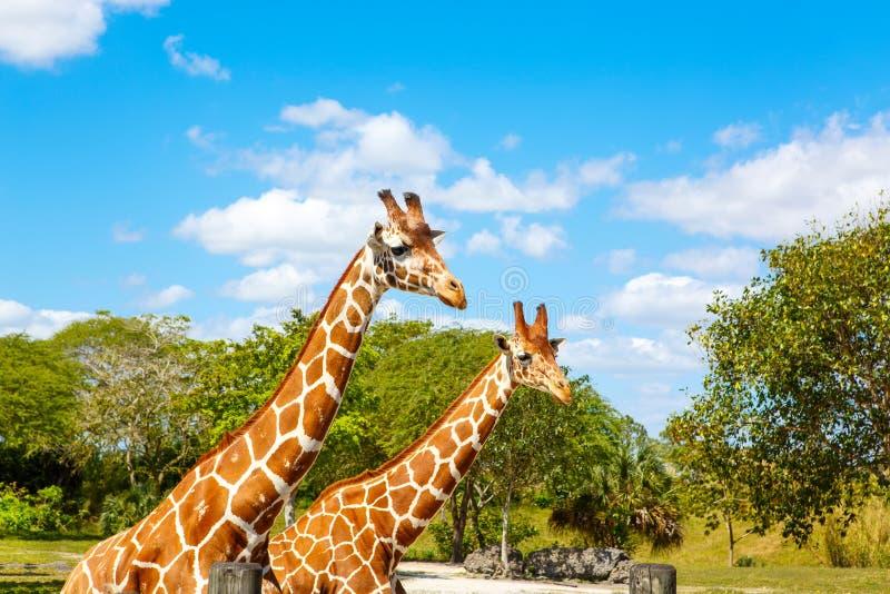 Giraffes in the zoo safari park. Beautiful wildlife animals. On sunny warm day stock images