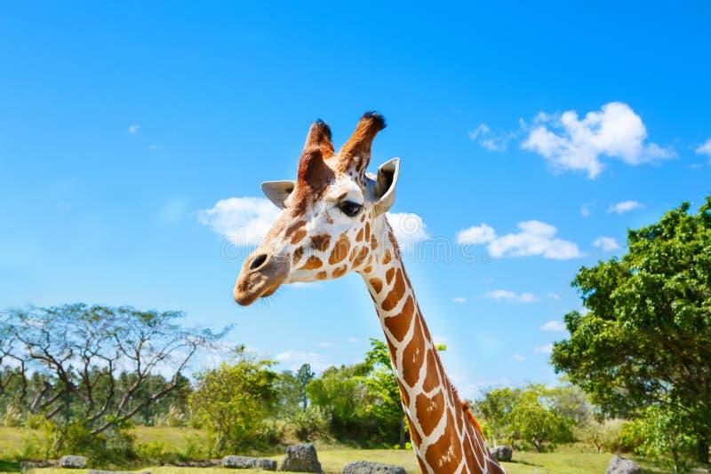 Giraffes in the zoo safari park. Beautiful wildlife animals. On sunny warm day royalty free stock photography