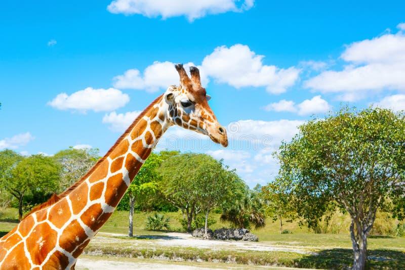 Giraffes in the zoo safari park. Beautiful wildlife animals. On sunny warm day stock photos