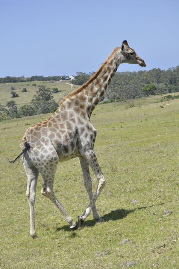 Giraffet royaltyfri bild