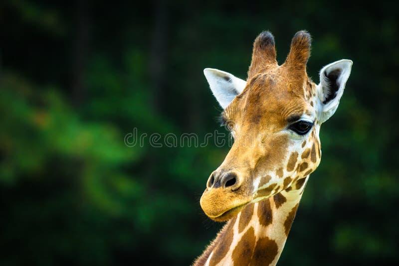 Giraffet royaltyfria bilder