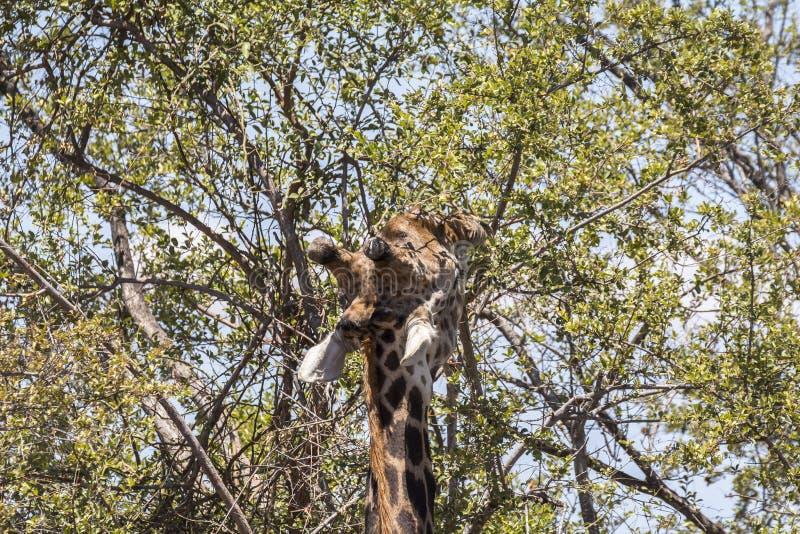 Giraffet som äter i träden i Kruger, parkerar, Sydafrika fotografering för bildbyråer