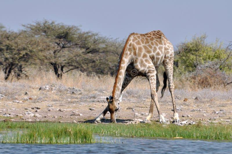 Giraffetrinken stockfotos