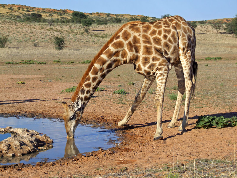 Giraffetrinken lizenzfreies stockbild