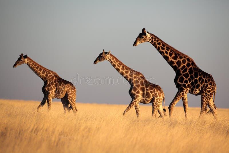 Giraffetrio in der Leuchte des späten Nachmittages stockfotos