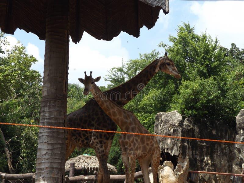 Giraffförälskelse och värmefamilj arkivfoton