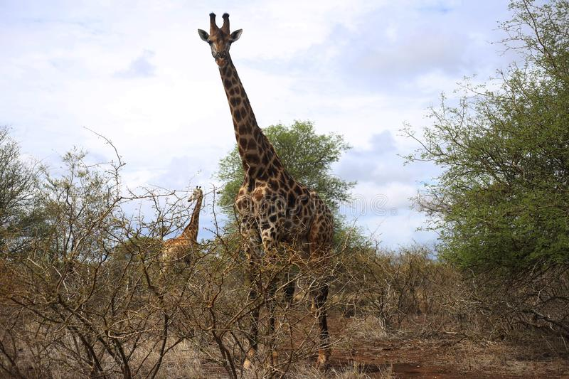 Girafffamilj i den Kruger nationalparken royaltyfri foto