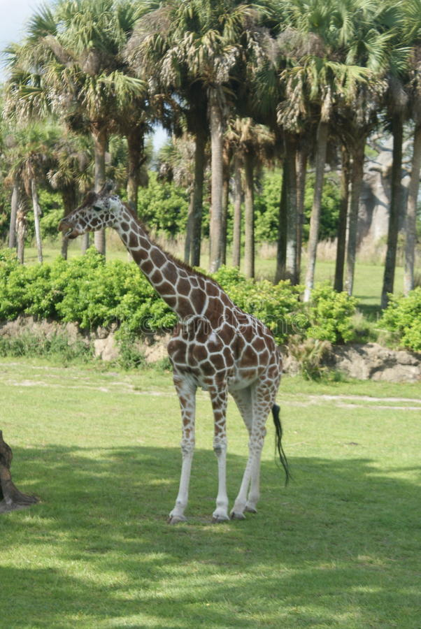 Girafffe 图库摄影