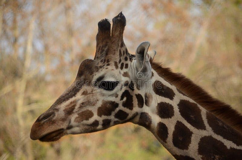 Girafffe slut upp ståenden royaltyfria bilder