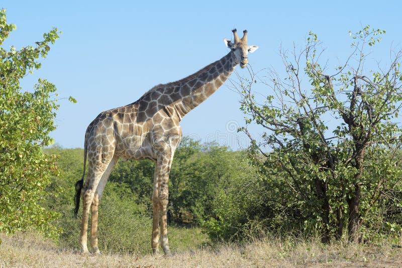 GiraffGiraffacamelopardalis som äter sidor från träd arkivfoton