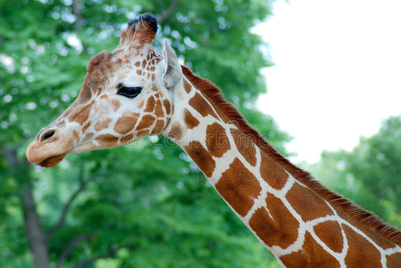 GiraffHuvud-hals arkivbild