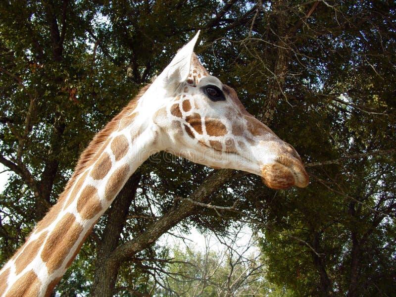 Giraffhuvudet och hånglar royaltyfri fotografi