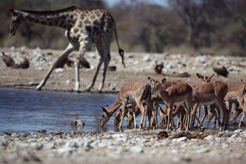 giraffimpalas som delar waterhole fotografering för bildbyråer