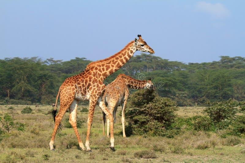 giraffkenya rothschild arkivbild