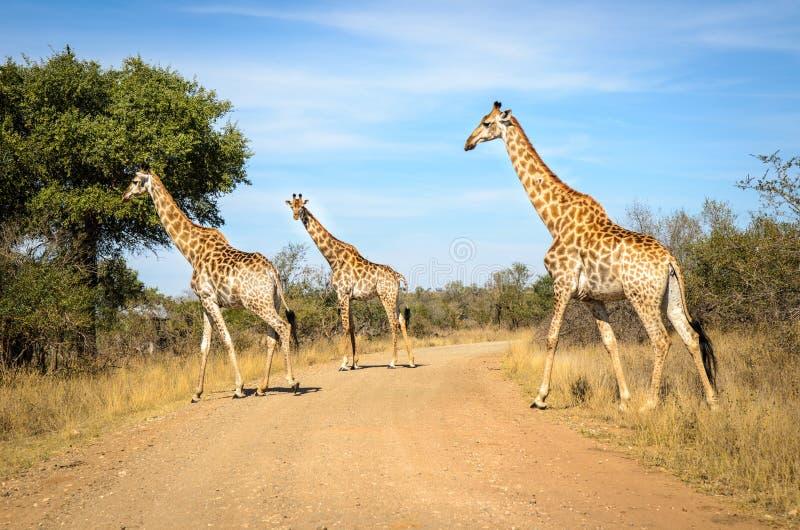 GiraffKruger nationalpark, Sydafrika arkivbilder