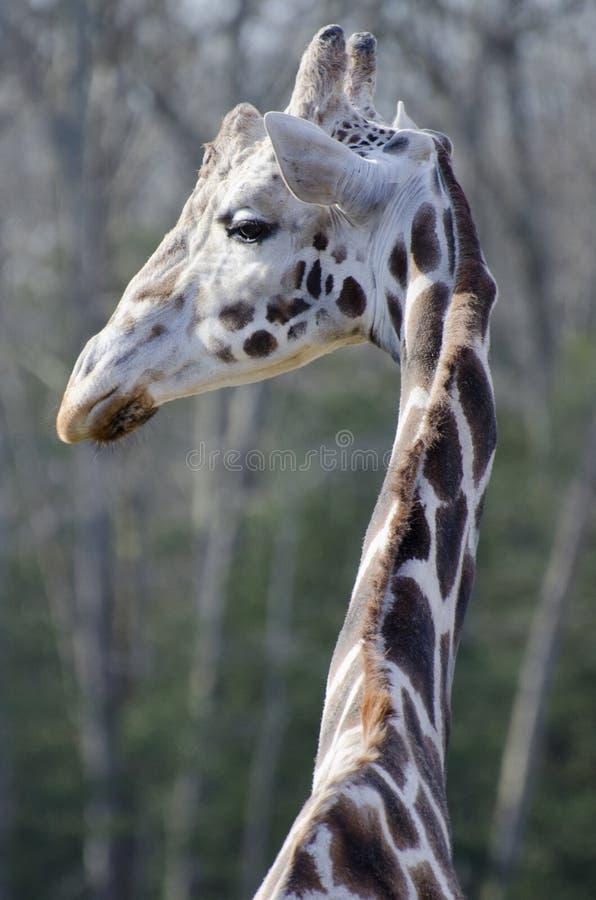 Giraffman royaltyfri fotografi