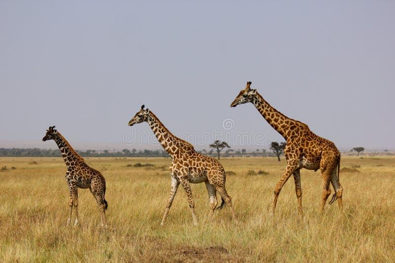 giraffmara masai royaltyfri bild