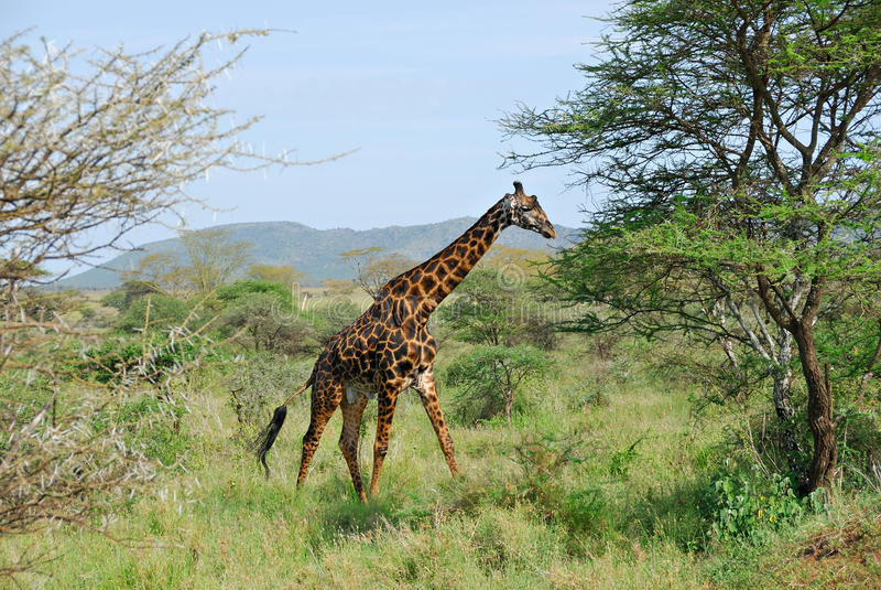 giraffmasai royaltyfria foton