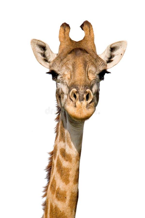 giraffmassai arkivfoto