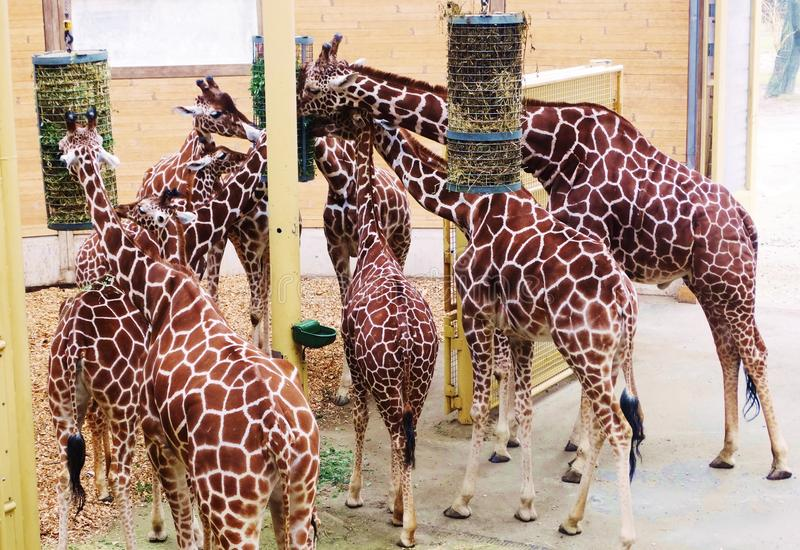 Giraffmatning Tid i zoo arkivfoto