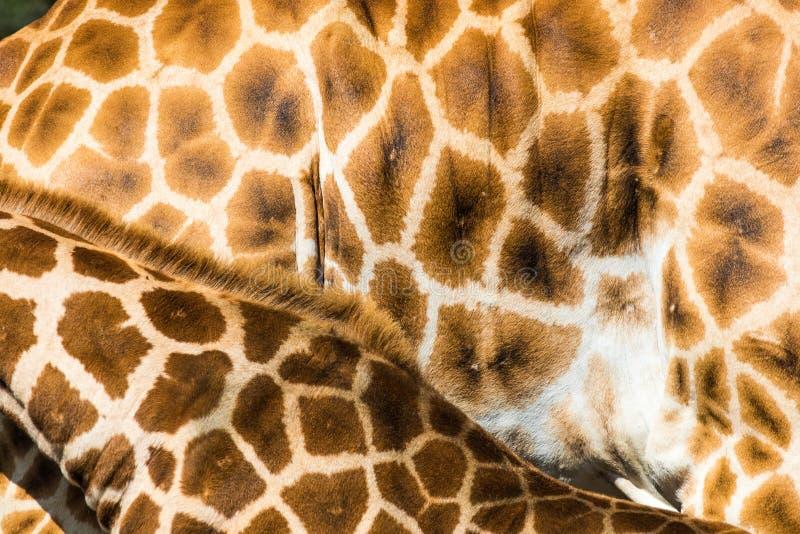Giraffmodell arkivbild
