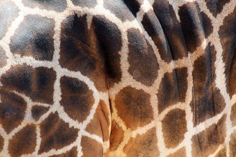 giraffmodellhud arkivbild