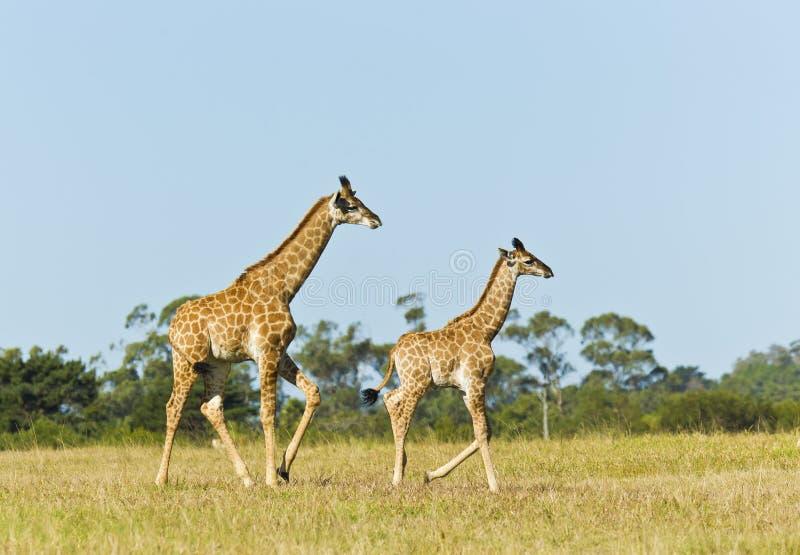 Giraffmoder och barn royaltyfria bilder