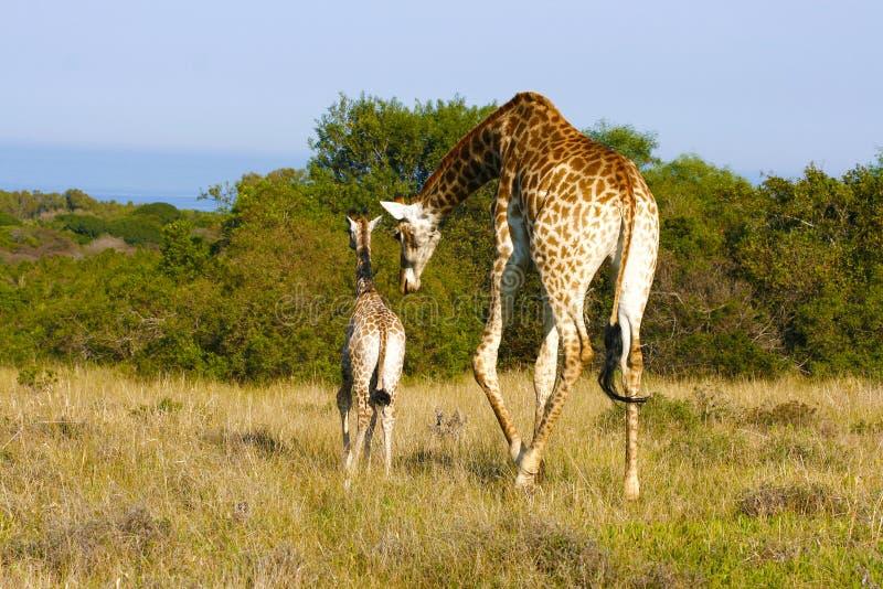 Giraffmoder och kalv royaltyfri bild