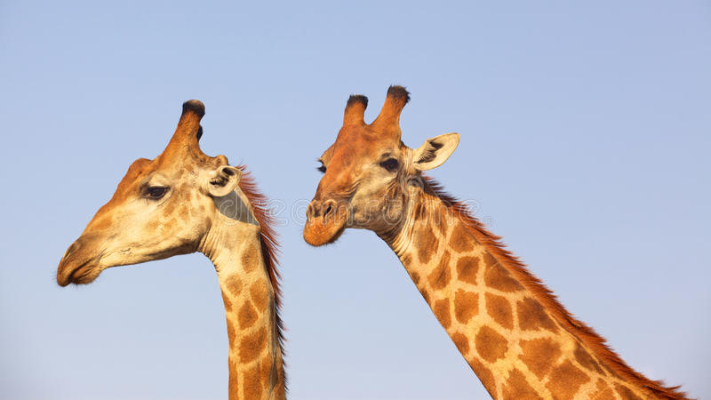 Giraffpar fotografering för bildbyråer