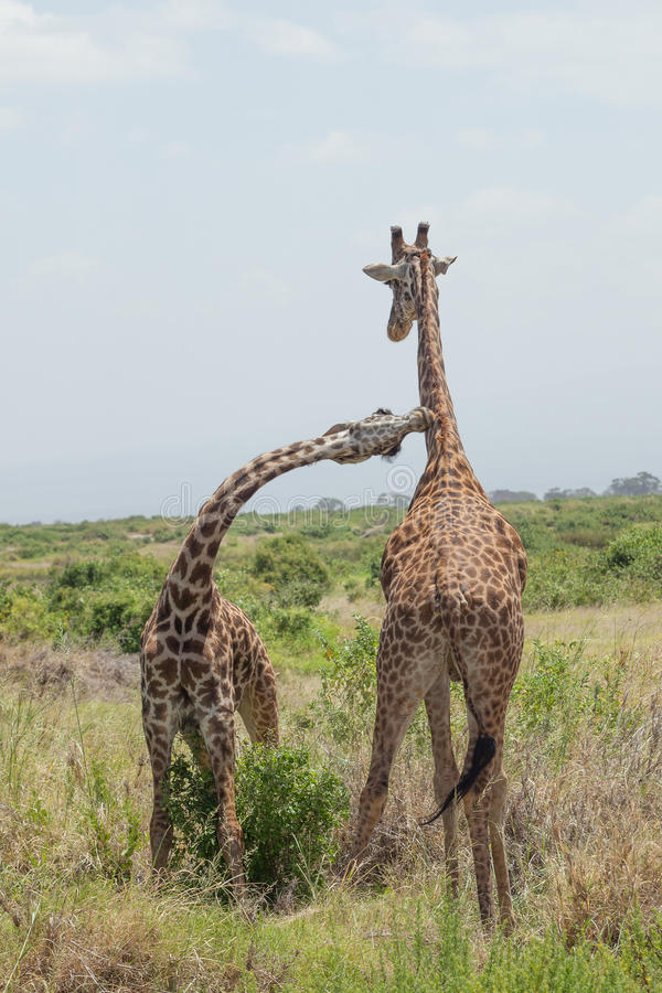Giraffpar. Amboseli Kenya. fotografering för bildbyråer