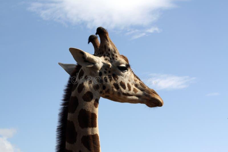 giraffprofil royaltyfria foton