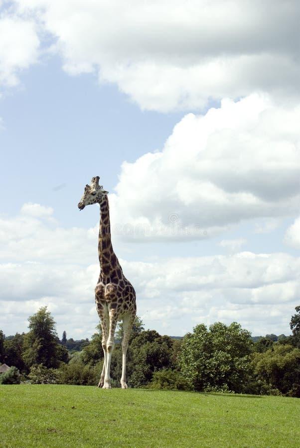 giraffrothschild s arkivbilder