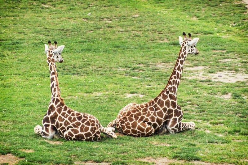 giraffrothschild två royaltyfri bild