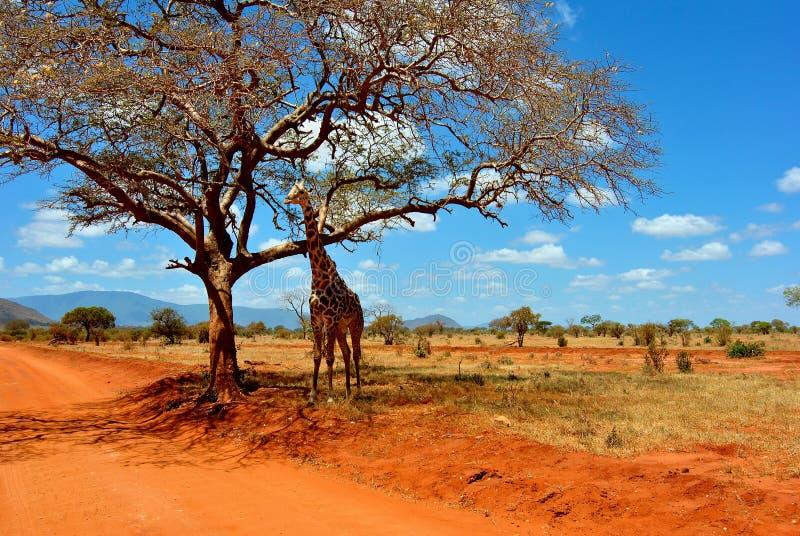 giraffsafari arkivfoto