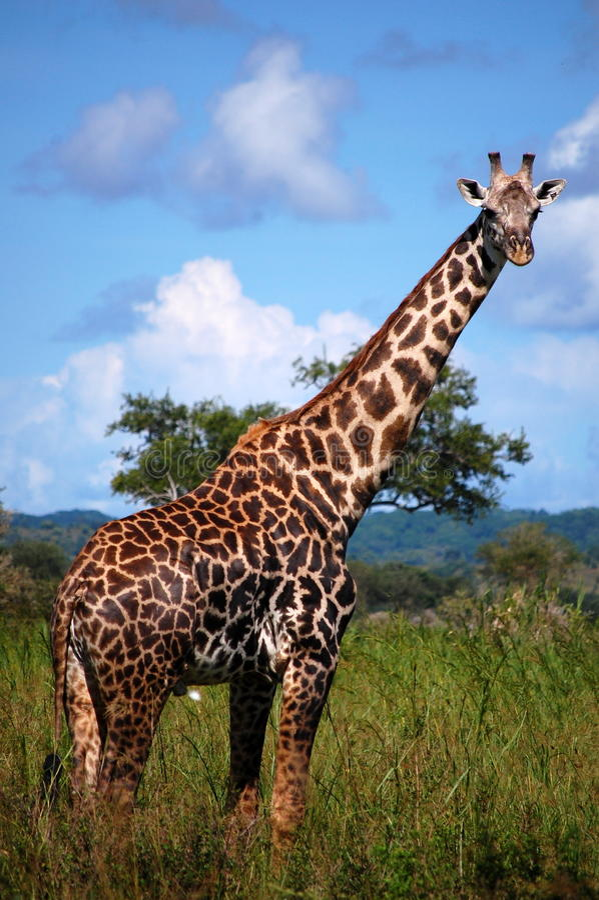 giraffsafari arkivbild